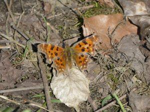 Aurelia vlinder op de grond bij de Anne Frankboom